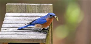 bluebird with grub
