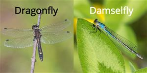 dragonfly vs damselfly