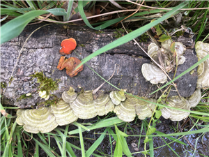 pond shelf fungus